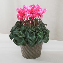 季節の花鉢 シクラメン「ハーレカイン」(6号)