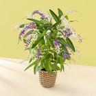季節の花鉢 ハーデンベルギア
