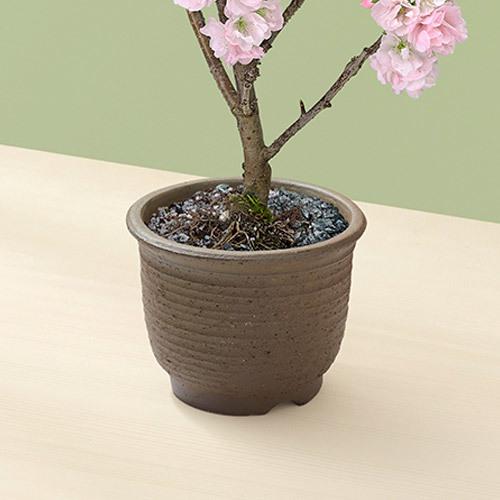桜鉢 「南殿桜」