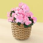 季節の花鉢 「アザレア」6号