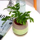 観葉植物 ヒメモンステラアンティークポット