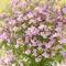 季節の花鉢 ボロニアピナータ