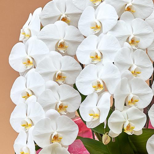 法人【エリア限定】「胡蝶蘭(ホワイト)3本立ち」お祝いラッピング