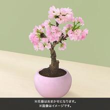 桜鉢 「旭山」4号