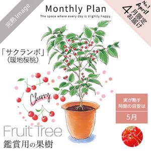フルーツツリー4月「サクランボ(暖地桜桃)」