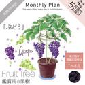フルーツツリー 5月「ぶどう」