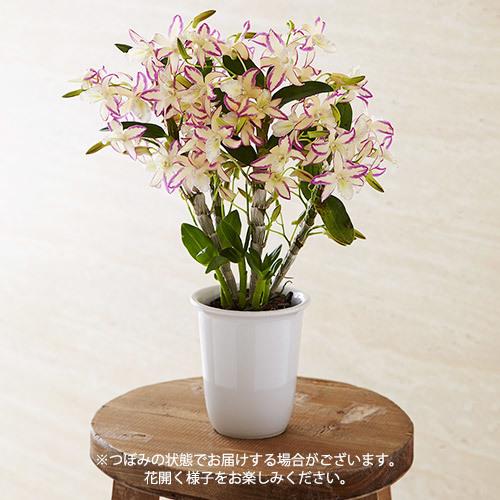 華やかオーキッドルーム5月 デンドロビウム「レインボーダンス花見月」