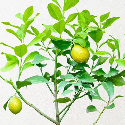 父の日 「レモン」