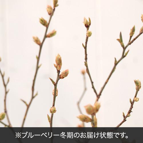 果樹「ブルーベリー2本植え」