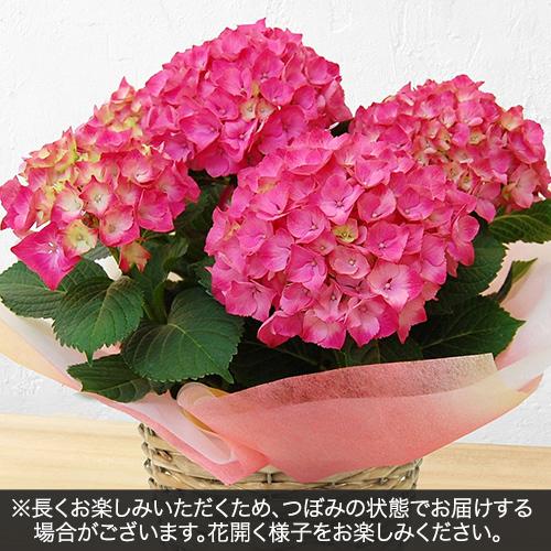 アジサイ ピンク系(5号)