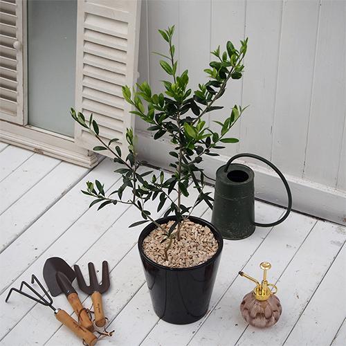 観賞樹「オリーブ2本植えモダンポット」