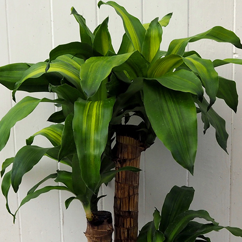観葉植物「幸福の木(M)・スクエアカバー」