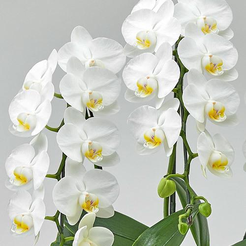 ミディ胡蝶蘭「凛」 白 3本立ち