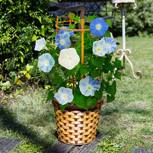 季節の花鉢  「西洋朝顔」