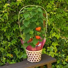 季節の花鉢 「ホオズキ」