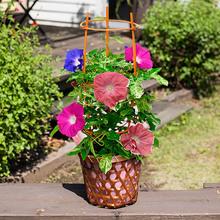 季節の花鉢  「日本朝顔3色咲き」