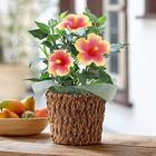 季節の花鉢  「ハイビスカス ミセスユミ」