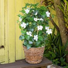 季節の花鉢  「マンデビラ」