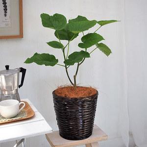 観葉植物「ウンベラータ6号バスケット」