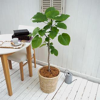 観葉植物「ウンベラータ(L)・バスケット」