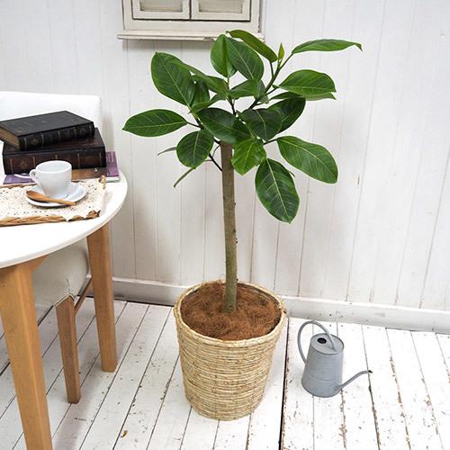 【日比谷花壇】観葉植物「アルテシーマゴム(L)・バスケット」