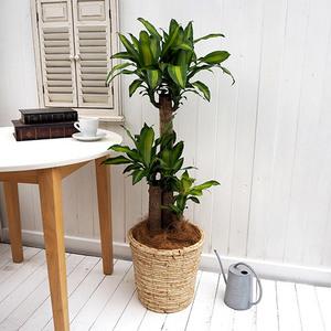 観葉植物「幸福の木(L)・バスケット」