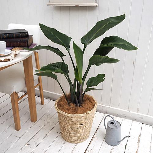 観葉植物「オーガスタ(L)・バスケット」