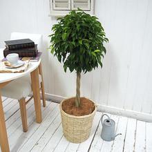 観葉植物「ベンジャミン(L)・バスケット」
