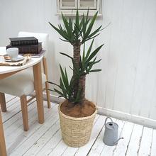 観葉植物「ユッカ(L)・バスケット」