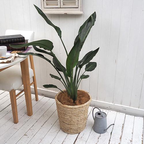 【日比谷花壇】観葉植物「レギネ(L)・バスケット」