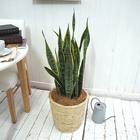 観葉植物「サンスベリア(L)・バスケット」