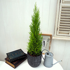 観葉植物 「ゴールドクレスト(アンティークポット)」