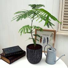 観葉植物「エバーフレッシュ(アンティークポット)」