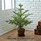 クリスマス もみの木 (10号)