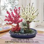 お正月 紅白梅盆栽(11号)