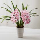 季節の蘭鉢 小型シンビジウム アーチ型(ピンク系)