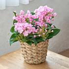 季節の花鉢 におい桜(5号)